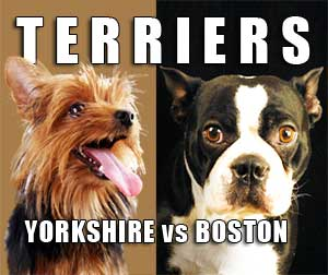 Yorkshire Terrier vs. Boston Terrier
