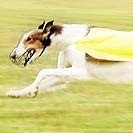 Lure coursing is a sport for sighthounds.