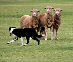 If you have a herding dog, herding trials may be the sport for you.