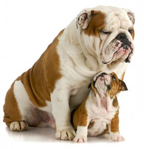 English Bulldogs aren't huge dogs, but their characteristically stocky build gives them substance.