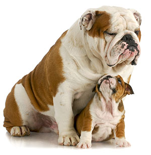 English Bulldogs Aren T Huge Dogs But Their Characteristically Stocky Build Gives Them Substance
