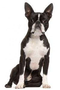 Which breed has the longest consecutive reign as the number-one most popular dog in America?